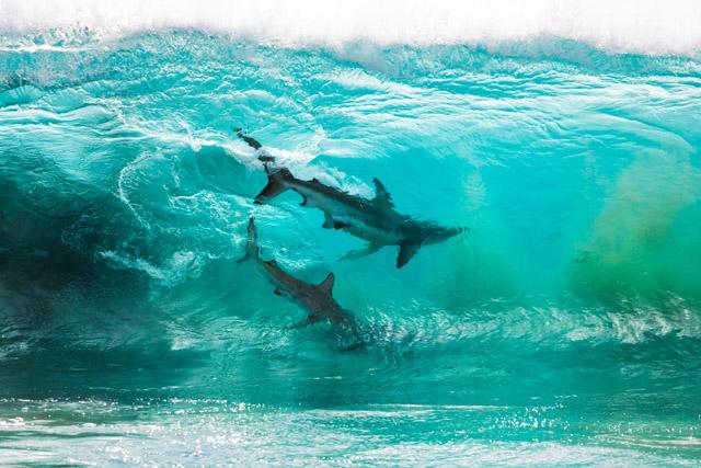 Две акулы (2019), фото: Шон Скотт (Австралия)